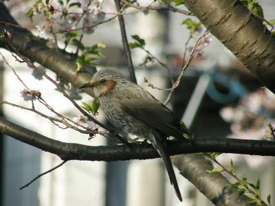 早朝ウォーキングで桜を愛でながら市内各地を巡る・・・⑥愛宕神社・ヨーカ堂前・久喜市北2丁目の桜