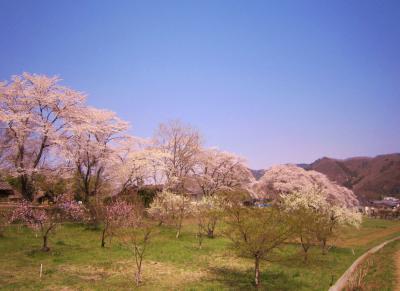 日本さくら名所100選 長瀞の桜 ~青空に映える桜を見上げて~(前編)