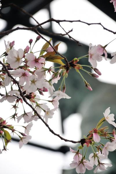 2014年大阪の桜