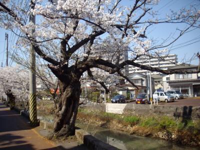 長岡市に戦災(大空襲)を生き抜いた桜が咲く