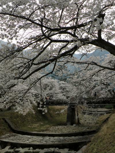 兵庫桜紀行 2014 その3 丹波・倉町川沿いの桜並木