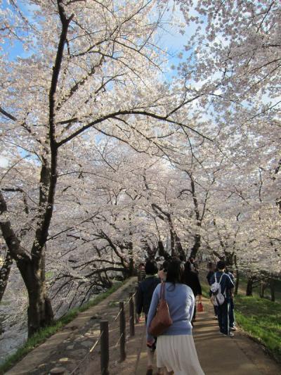 春到来!桜満開の山形~霞城公園♪
