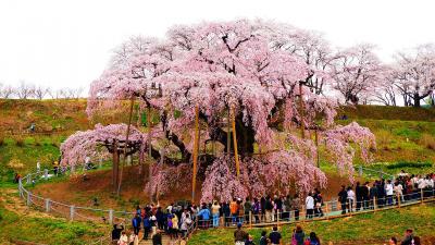 さくら満開!三春滝桜