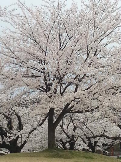 鶴岡公園の桜も見事です。
