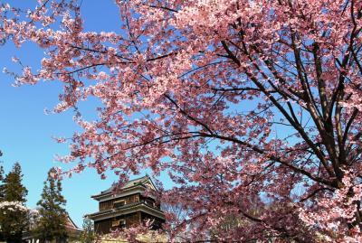 上田城址公園 1000本桜の輝き