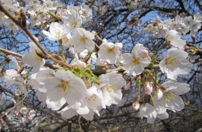 日本さくら名所100選 長瀞の桜 ~青空に映える桜を見上げて~(後編)