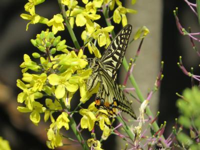 満開の「野田藤」と春の花々