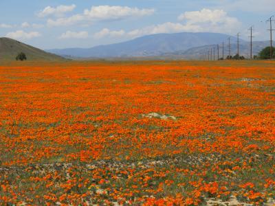 カリフォルニア州の州花「ポーピー」が満開で見渡すかぎりオレンジ色の絨毯でした。