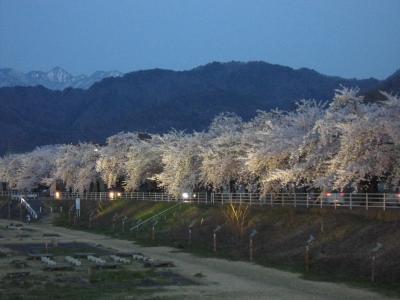 馬見ヶ崎川の桜