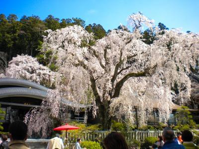青春18きっぷで行くお城と久遠寺のシダレ桜の旅(2日目)