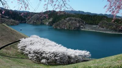 春爛漫、城山かたくりの里~城山湖ハイキング(2)