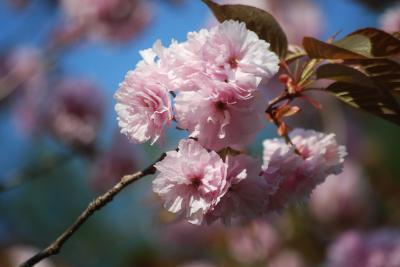 長瀞・通り抜けの桜を訪問