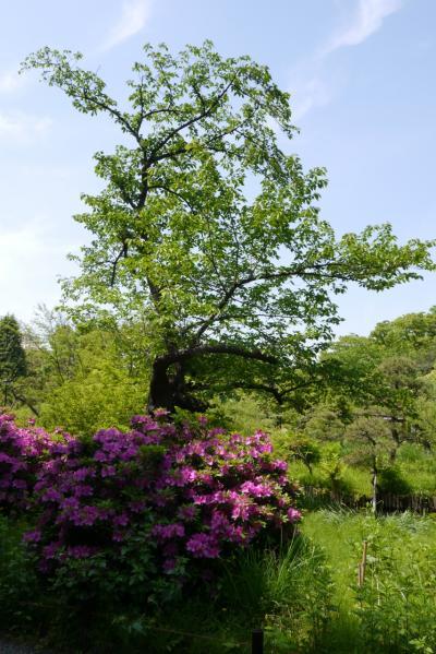 新緑と初夏の草花…向島百花園