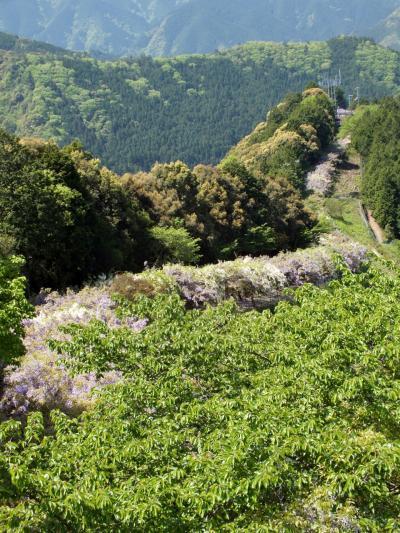 日本一の長さを誇るみやまの里森林公園の藤棚