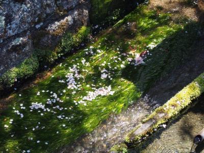 針江に川端を見に行く