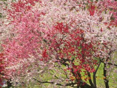 飯山 菜の花祭り 野沢温泉健命寺 小布施千曲川桜と菜の花