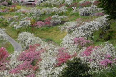 豊田市上中町のしだれ桃を楽しむ