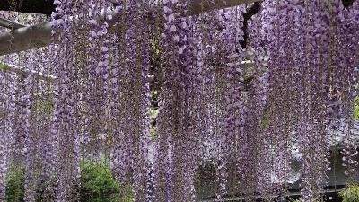 伊東市 林泉寺のフジと庭園。