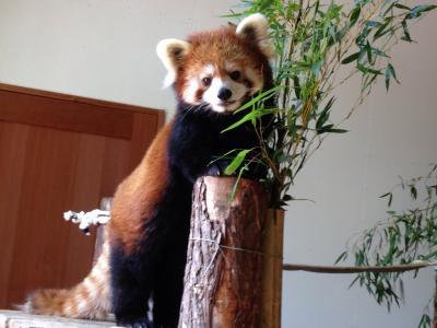 レッサーパンダ研究の旅〈12〉茶臼山動物園