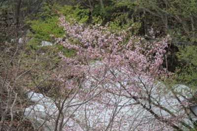 GW 雪の中の桜~仙人峠