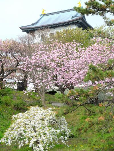 「 北の桜 巡り 函館 ~洞爺湖 ~ 大沼公園 3日間 <その2> 」 2014
