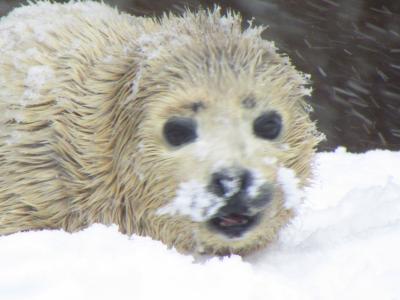 2014年春旭山動物園~春なのに風吹の巻き~♪きりん舎カバ館を見に!あざらしの赤ちゃんにこんにちは~♪