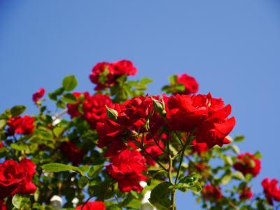 青空の下、一面に咲く薔薇