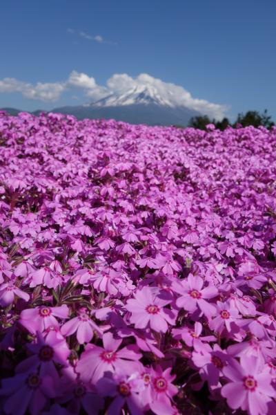 世界遺産の春景色 富士芝桜まつり