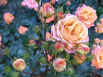 開東閣の薔薇