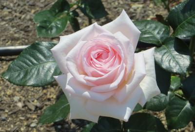 2014春、鶴舞公園の薔薇(4/10):5月16日(4):メルヘン・ケーニング、ミケランジェロ、マダム・ビオレ、ロイヤル・ハイネス