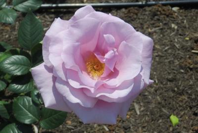 2014春、鶴舞公園の薔薇(6/10):5月16日(6):ブルー・ライト、ブラスバンド、ドフト・ゴールド、パパ・メイアン、シャコック、聖火