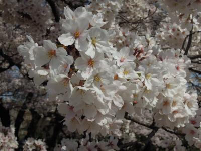 2014.4.6  日本の春は桜から