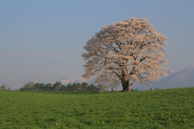 2014 GW 桜を追いかけて東北へ 5