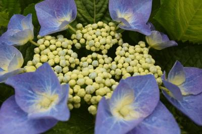 これからの花、紫陽花を… 2014.05.31