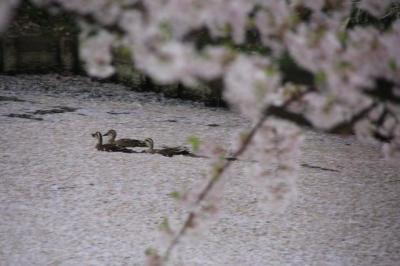 桜前線IN 青森