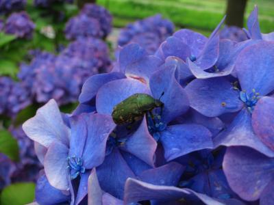 2013年6月 梅雨のおでかけ北多摩地区vol.1 府中編★ゆったり紫陽花&大人の楽しみ