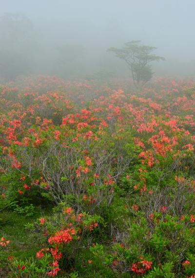 ツツジ咲く八方ヶ原 後編 ~霧に包まれた大間々台のレンゲツツジ群落~