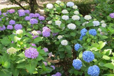 2014梅雨、鶴舞公園の花菖蒲(5/5):6月8日(5):バラ園、アジサイの散歩道、額アジサイ、西洋アジサイ