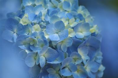 雨上がりの紫陽花に会いたくて・・府中にある「郷土の森」へ