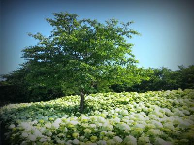雲上の木 /アナベルが織りなす天空の世界【2014  権現堂 紫陽花さんぽ】
