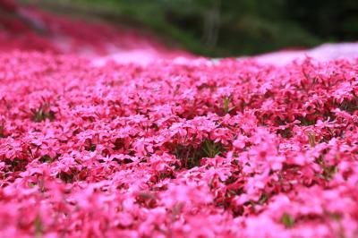 ぷらっと札幌 芝桜でへべれけ~♪