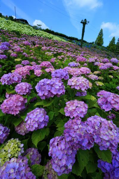 三重 かざはやの里の紫陽花