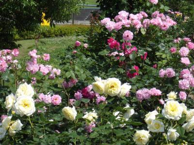 国営越後丘陵公園の薔薇まつり