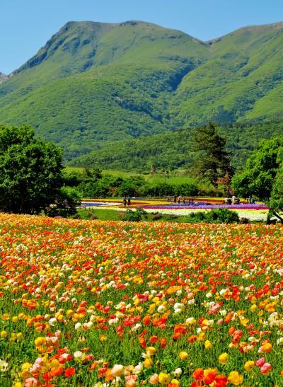 くじゅう花公園b  アイスランドポピー15万株満開 ☆四季彩の丘を染めて