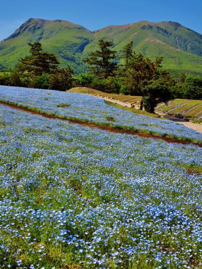 くじゅう花公園c  そよかぜの丘 ネモフィラ咲くころ ☆癒しと潤いを体感して