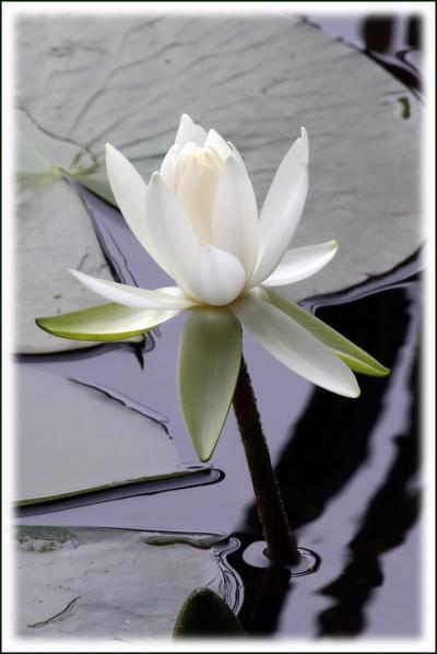 Solitary Journey [1400] 水の妖精'睡蓮の花'と花菖蒲と紫陽花が咲き競っていた?蛇の池″<標高693m極楽寺山>広島県廿日市市