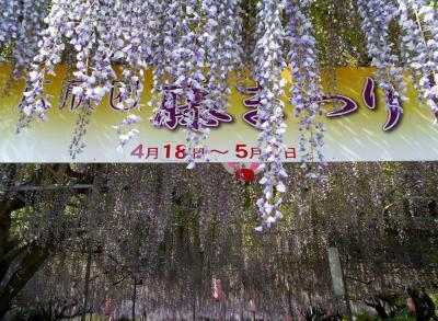 碧南市広藤園「藤まつり」