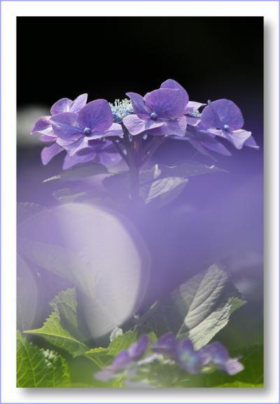 Solitary Journey [1401] 見ごろを迎えました!およそ2万株の紫陽花が満開!<あさひ製菓'果子乃季あじさい祭り'>山口県柳井市