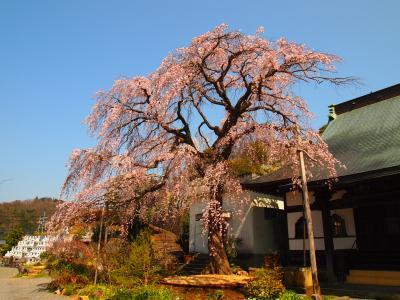 見事な枝垂れ桜 伊豆大仁 龍源院