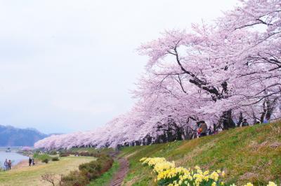 子離れ記念! サクラ満開みちのくの旅(2) 盛岡、小岩井農場、角館